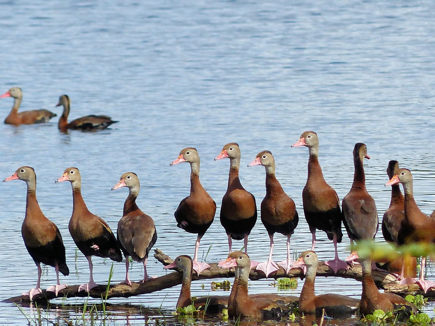 Whistling Ducks all in a row