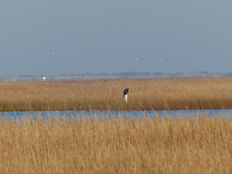 Large bird of prey really far away