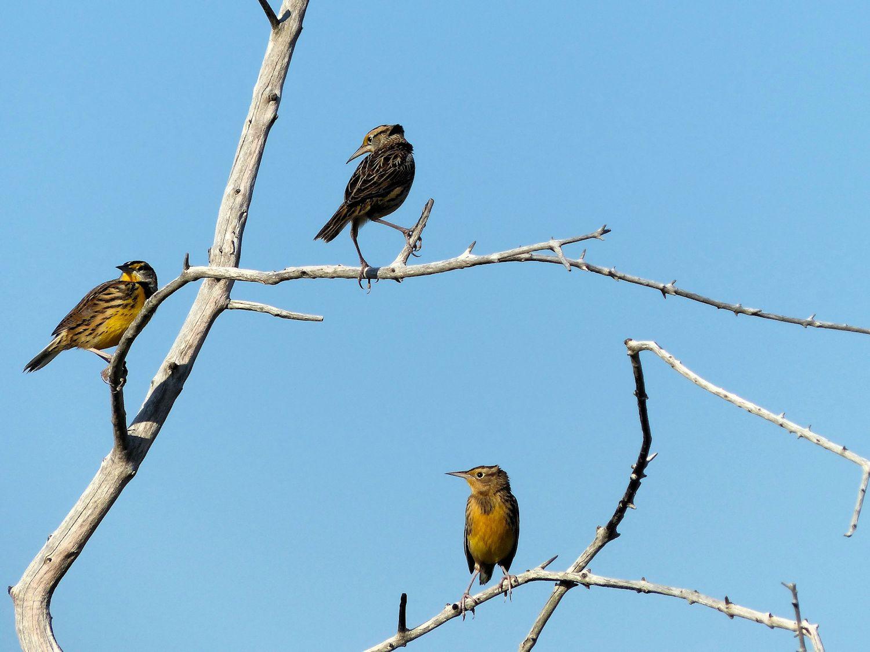 Eastern Meadowlarks
