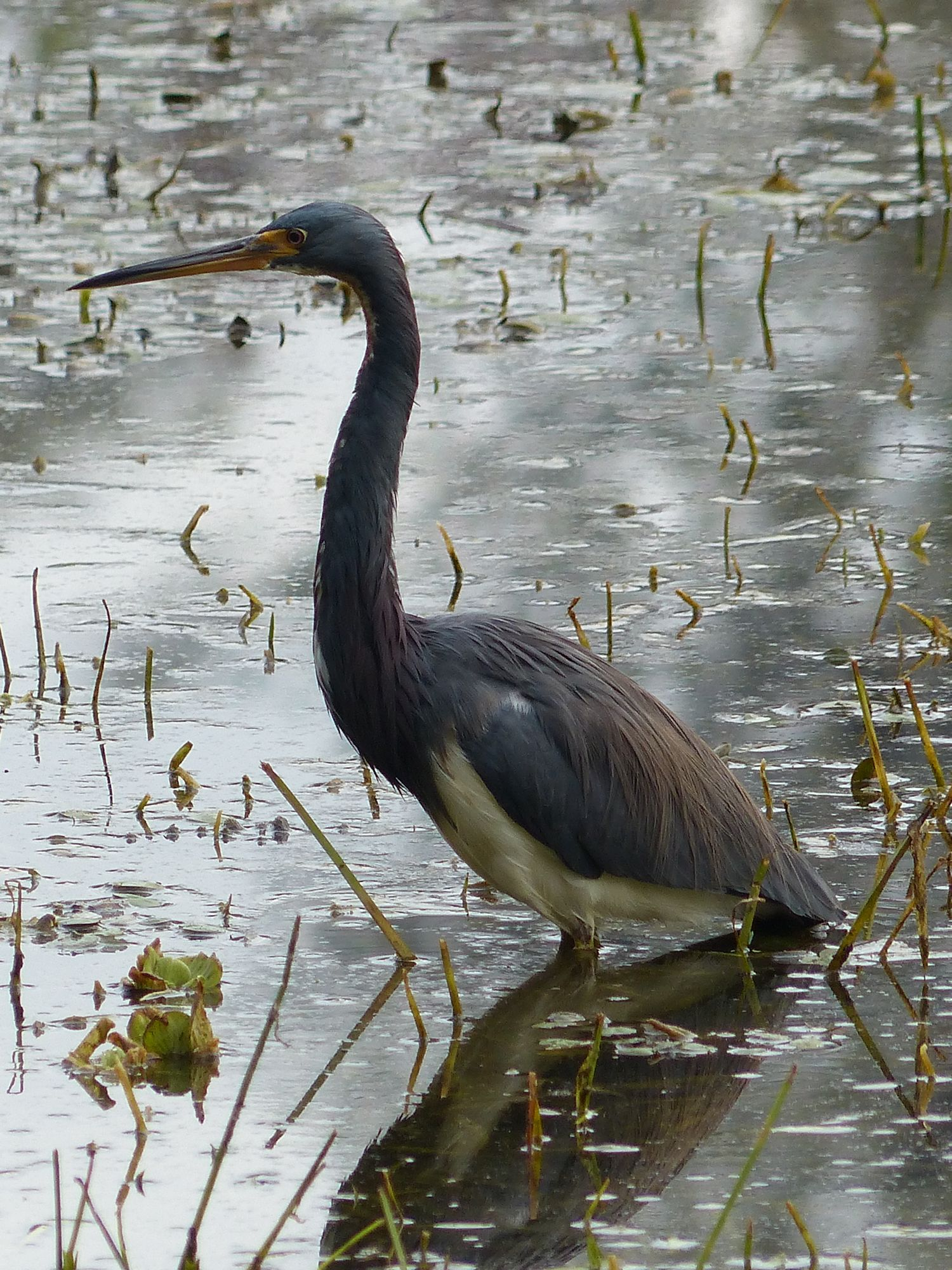 The bird formerly known as the Louisiana Heron, now called the Tri-colored Heron.