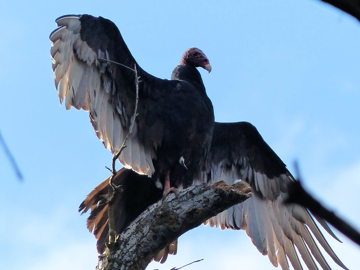 Turkey Vulture hanging with his cousins, the Black Vultures