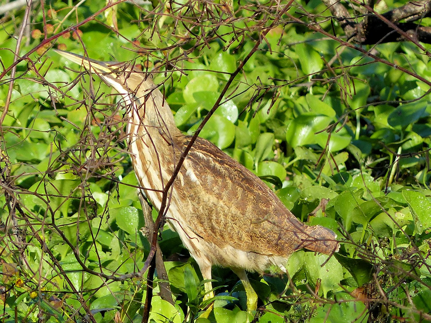American Bittern who thinks he is camouflaged
