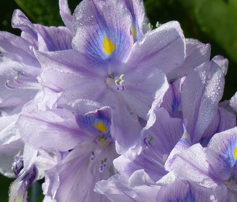 Water hyacinth blossom
