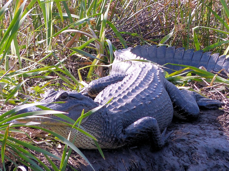 Alligator soaking up the sun