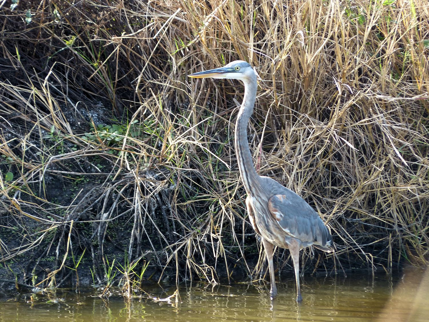 Great Blue Heron not looking like the Field Guides
