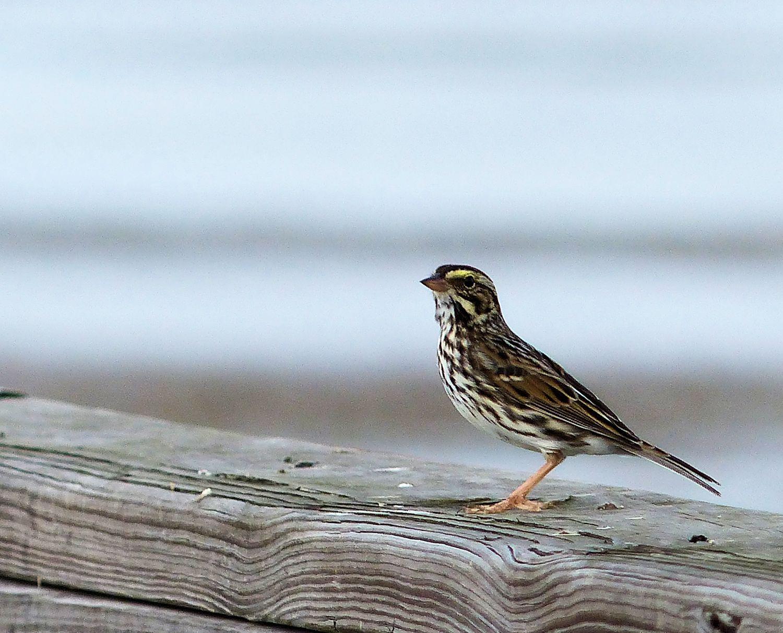 Savannah Sparrow on pier railing