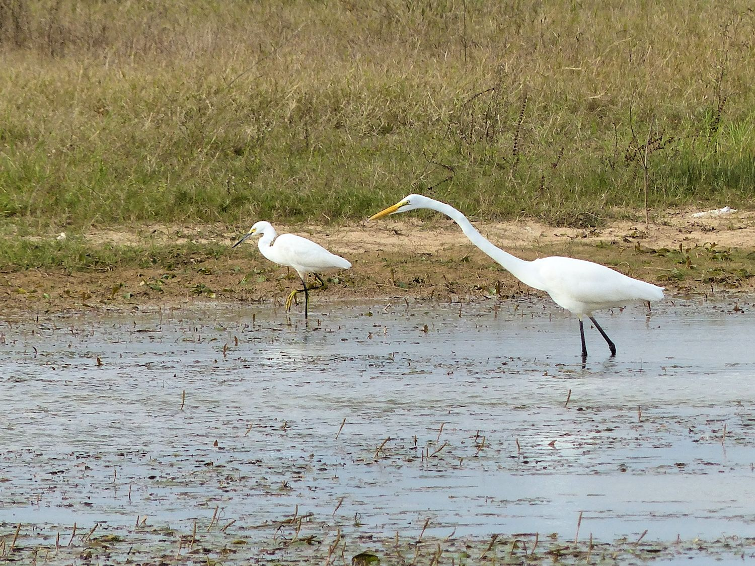 Great Egret turns and by-passes little guy stalking foods