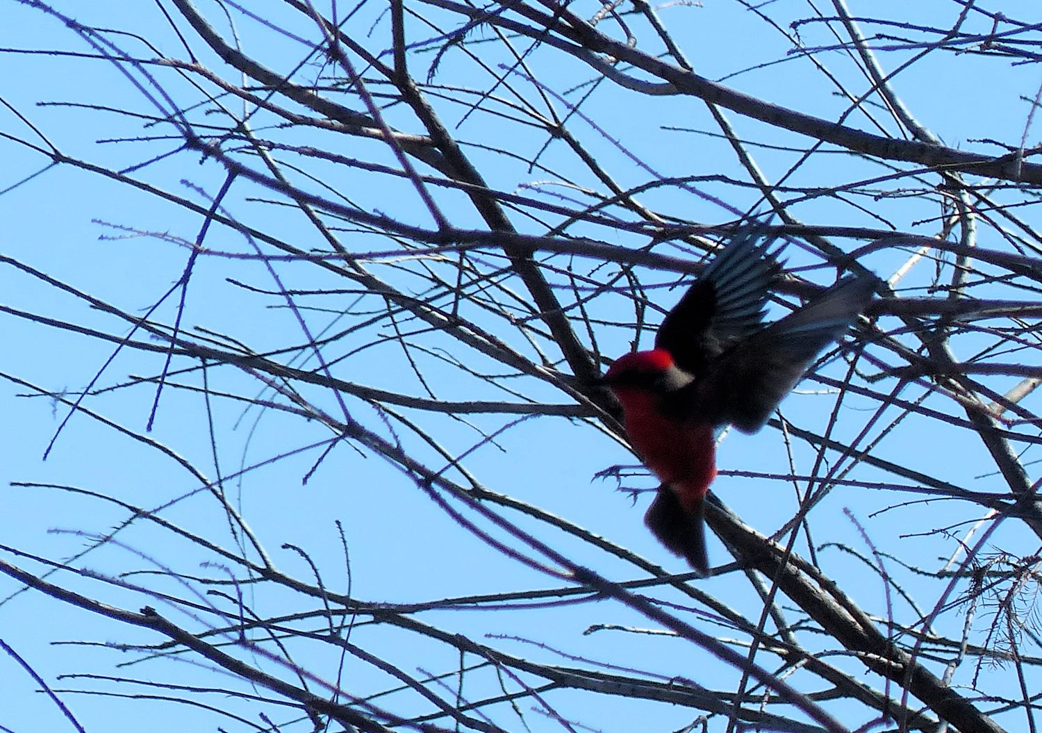 Vermillion Flycatcher catching flies