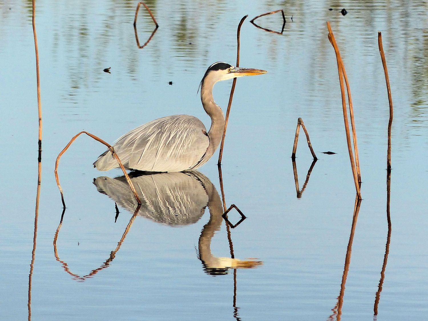 Great Blue Heron and his reflection