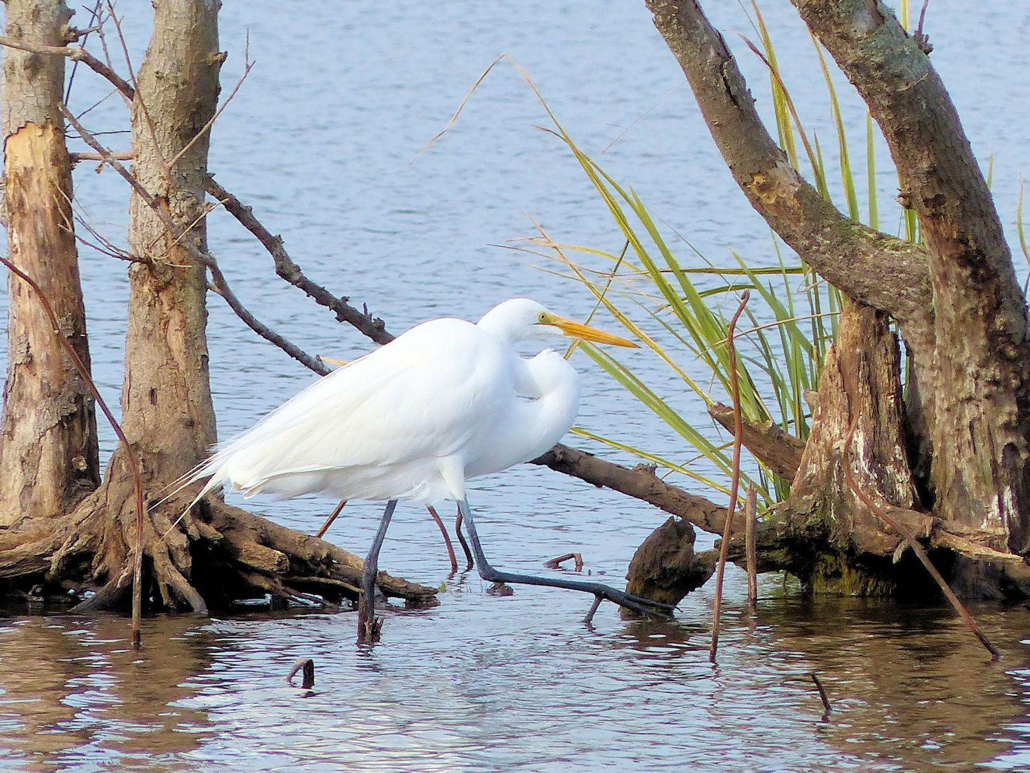 Great Egret stepping out...