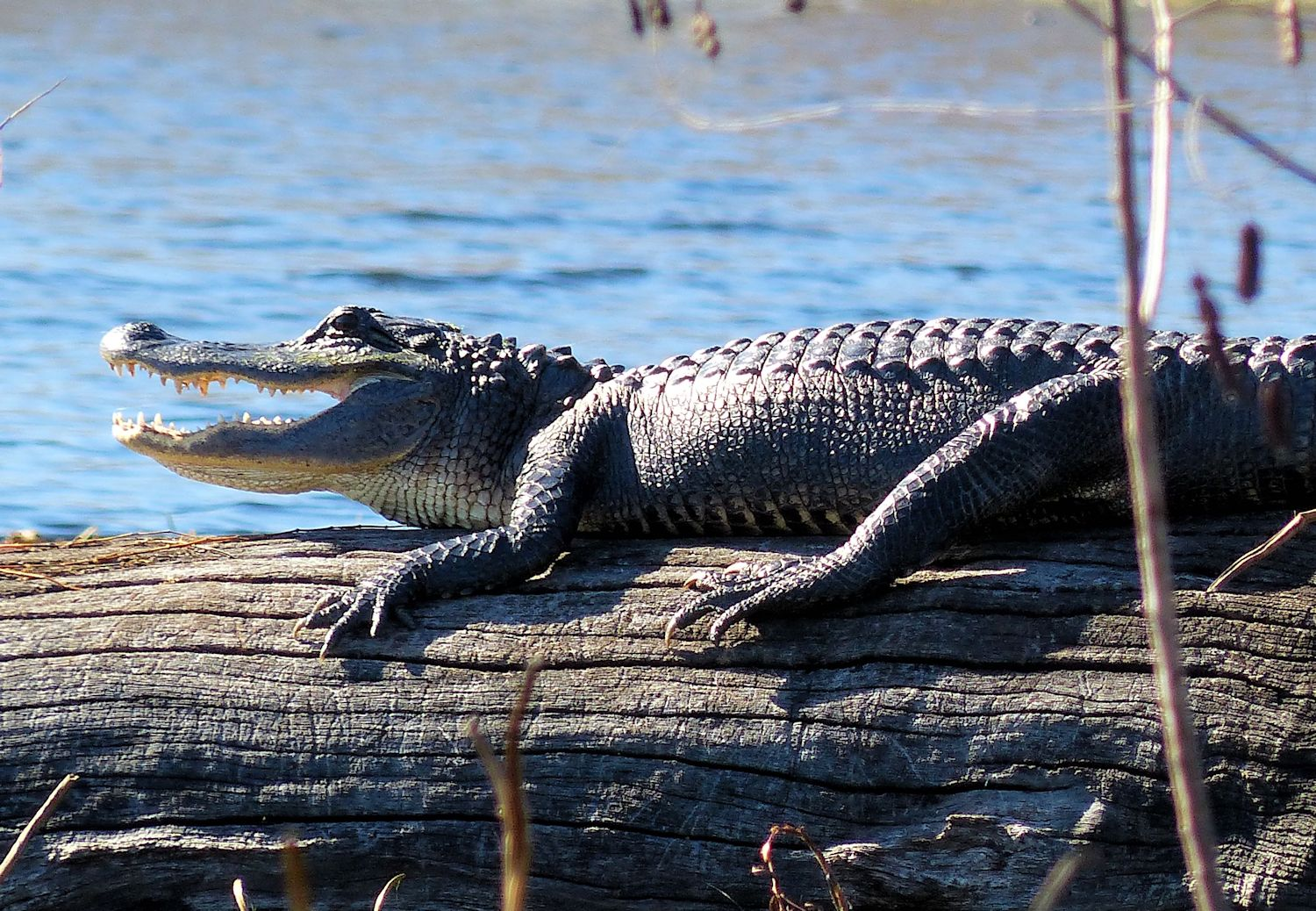 Now, this is a big alligator.