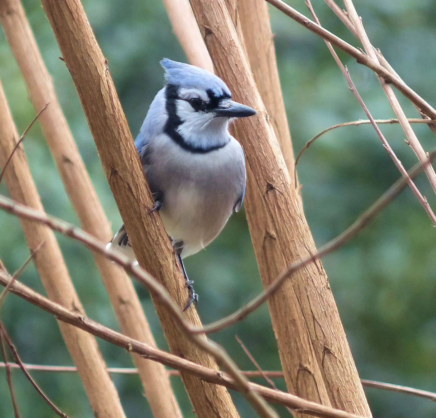 Blue Jay checking out the new restaurant