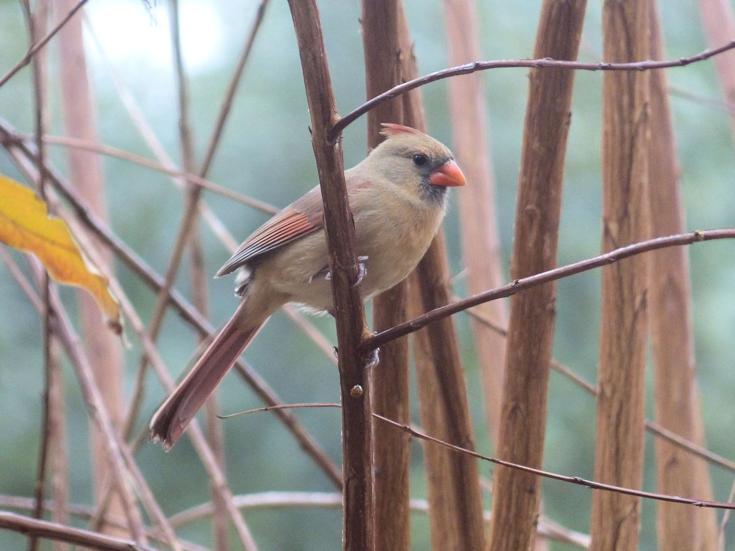 Female Cardinal being cautious