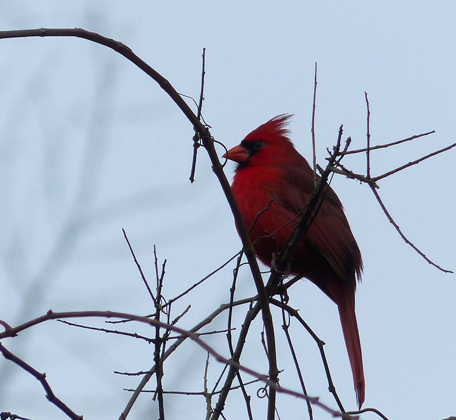 Northern Cardinal. Well, he was singing just a minute ago.