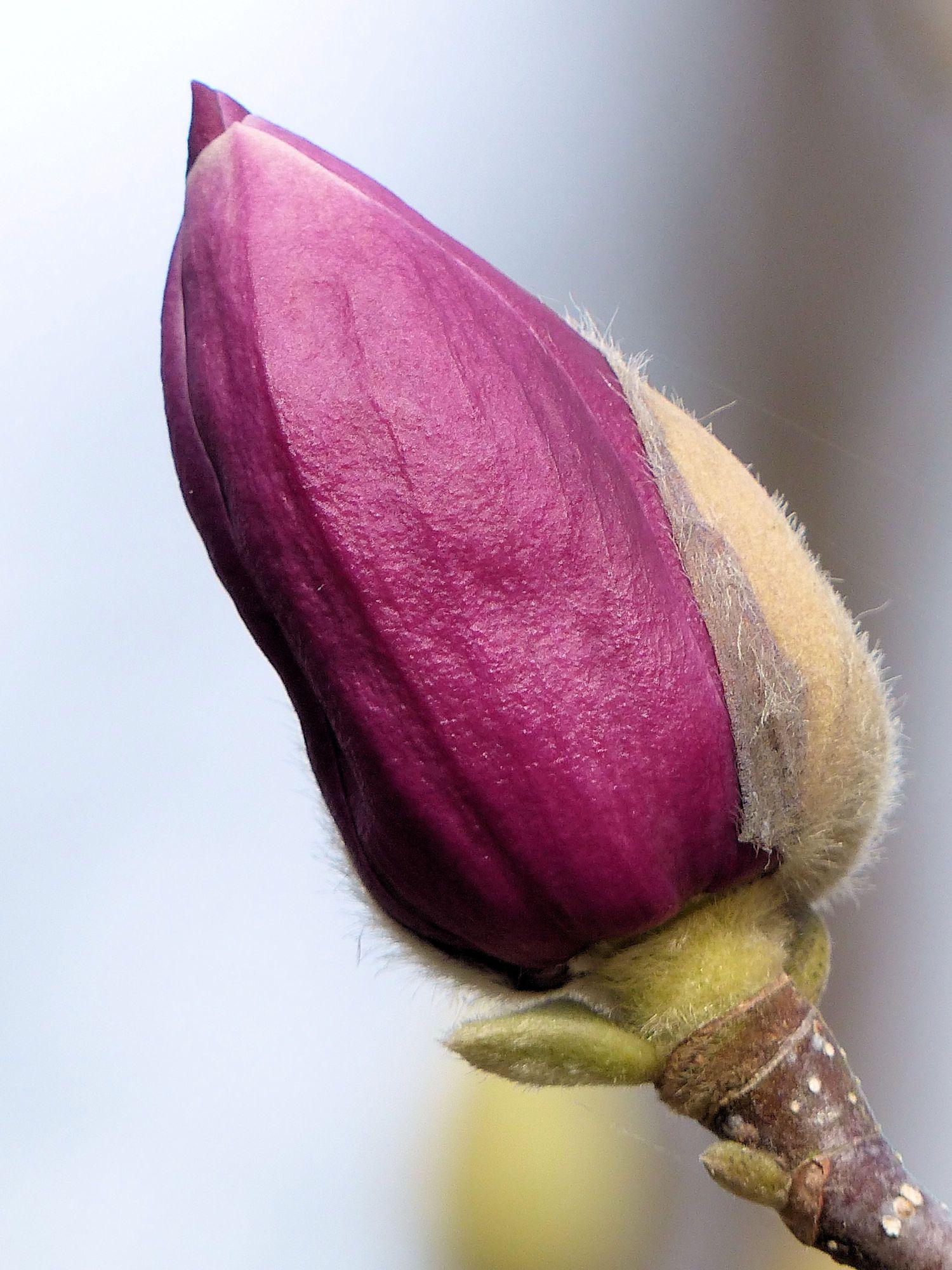 Tulip Magnolia bud