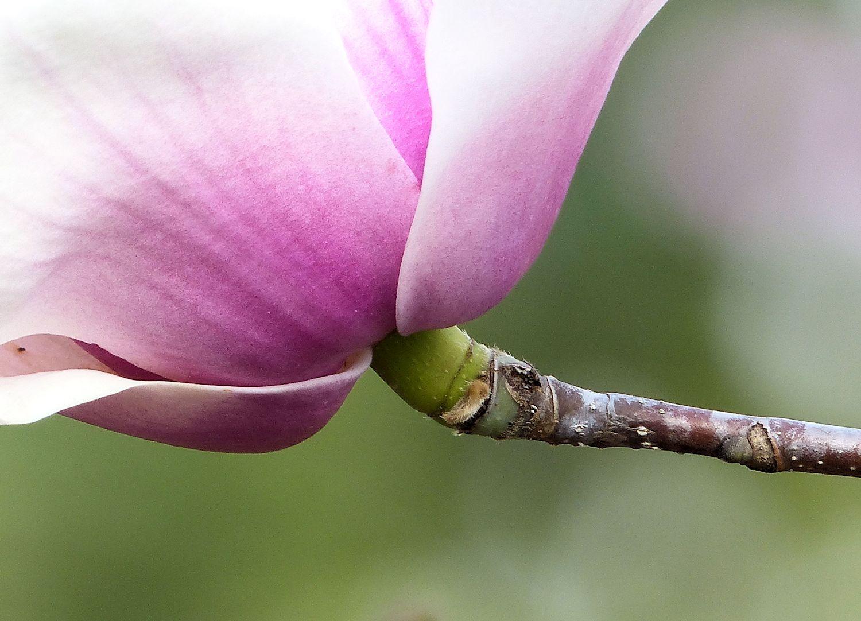 Tulip Magnolia just opening...