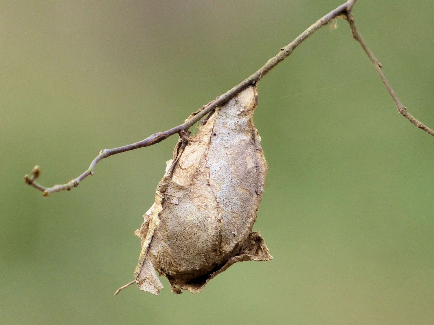 MOAR Lovely Dried Crap ... or maybe it is a chrysalis? With something exciting inside?