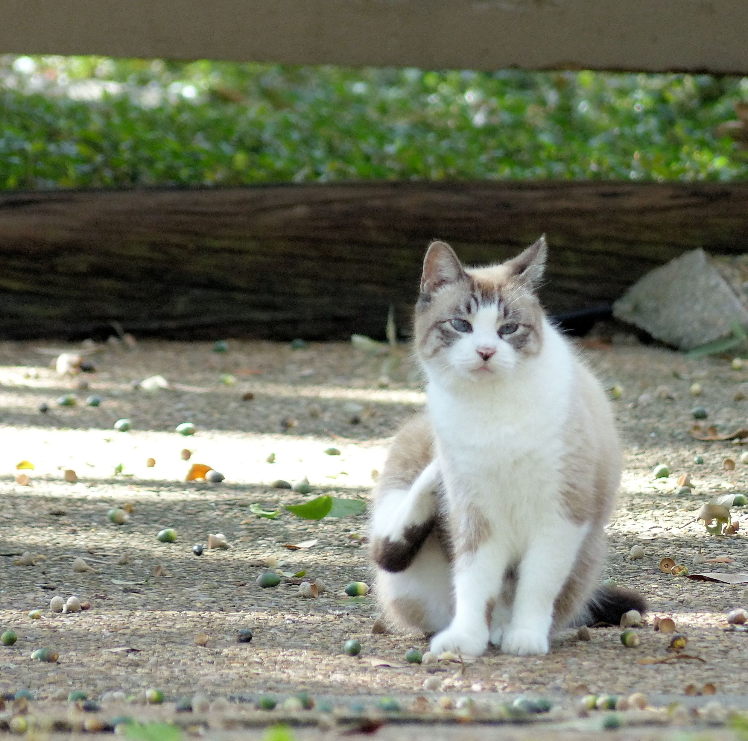 A white cat with brown trim