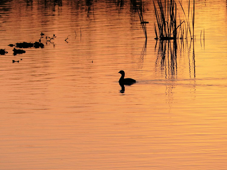 Solitary grebe at sunrse