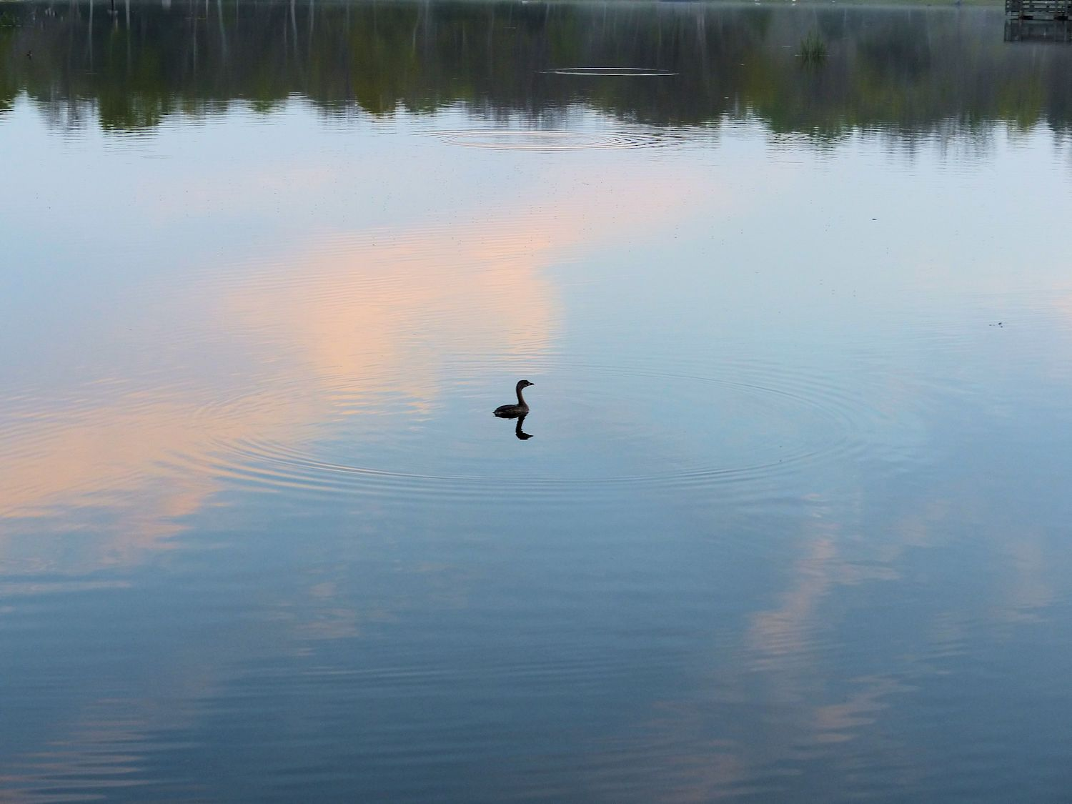 Another lonely Grebe