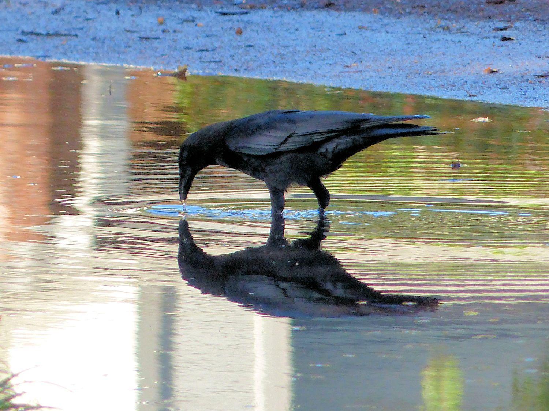 Crow in the neighborhood