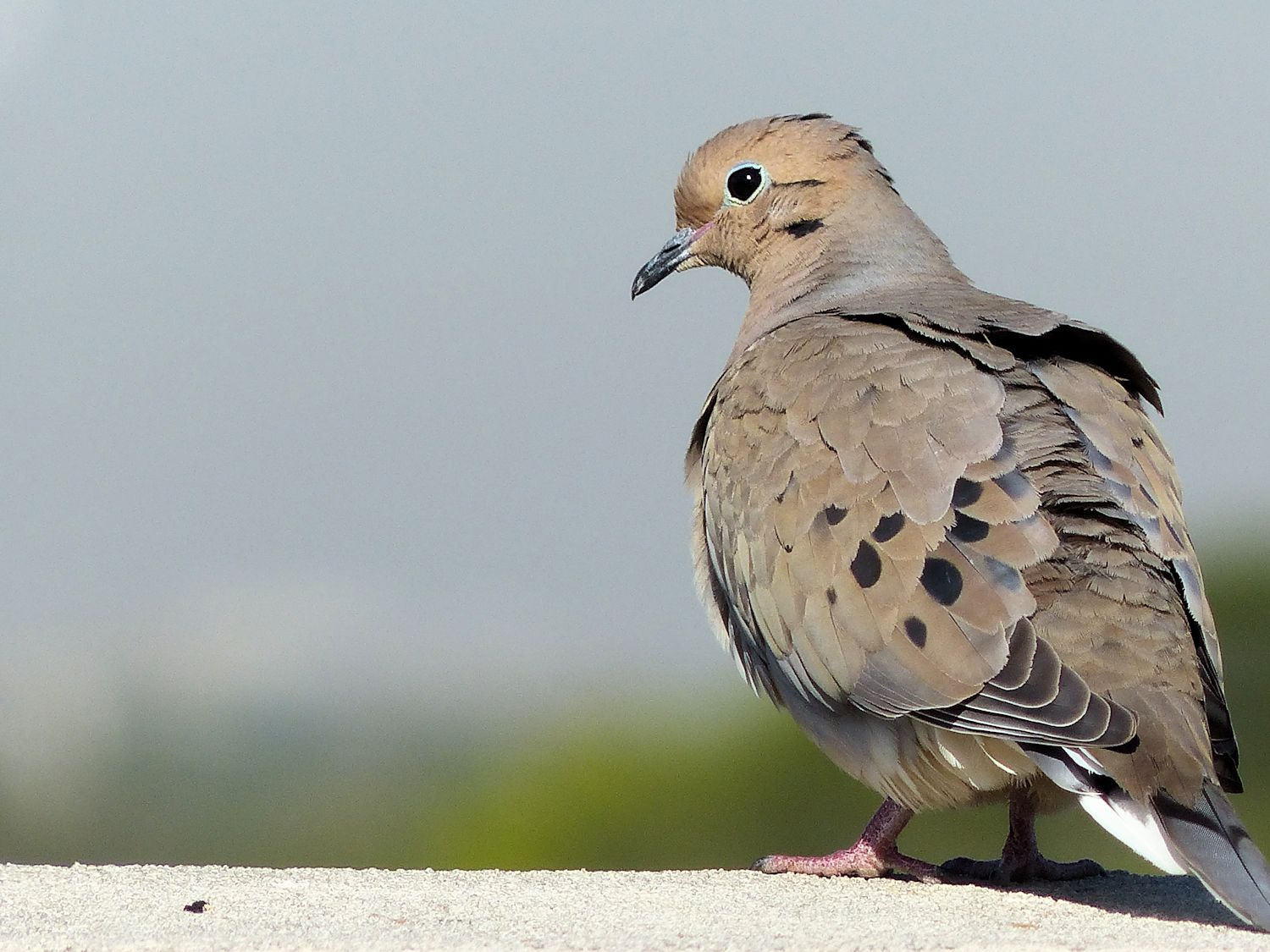 Roof top Mourning Dove with fancy blue eyeliner
