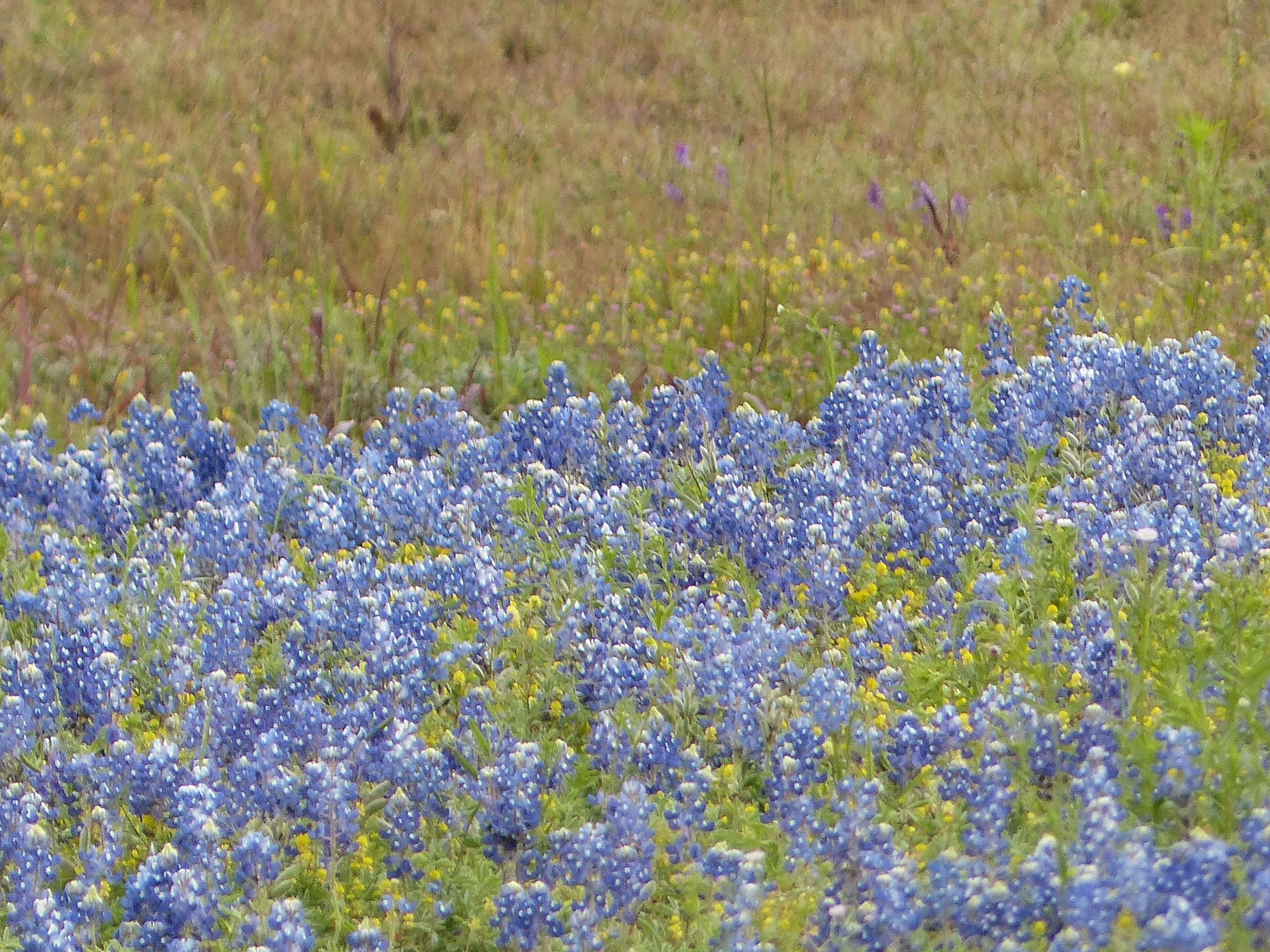Our state flower in full bloom beside Hwy 59