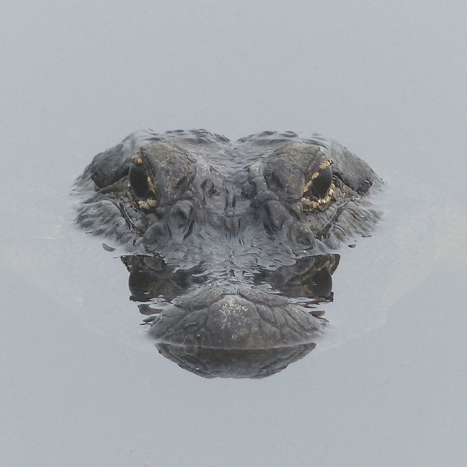 Awesome Alligator's younger brother