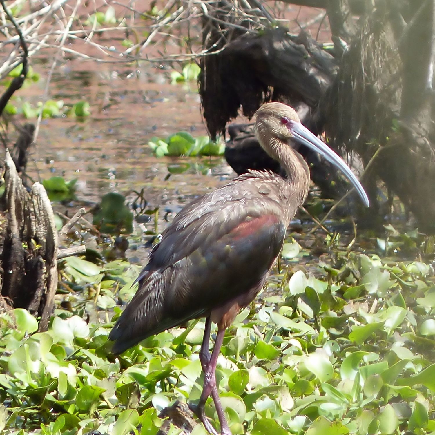 White-faced Ibis - grey bill and red eyes.