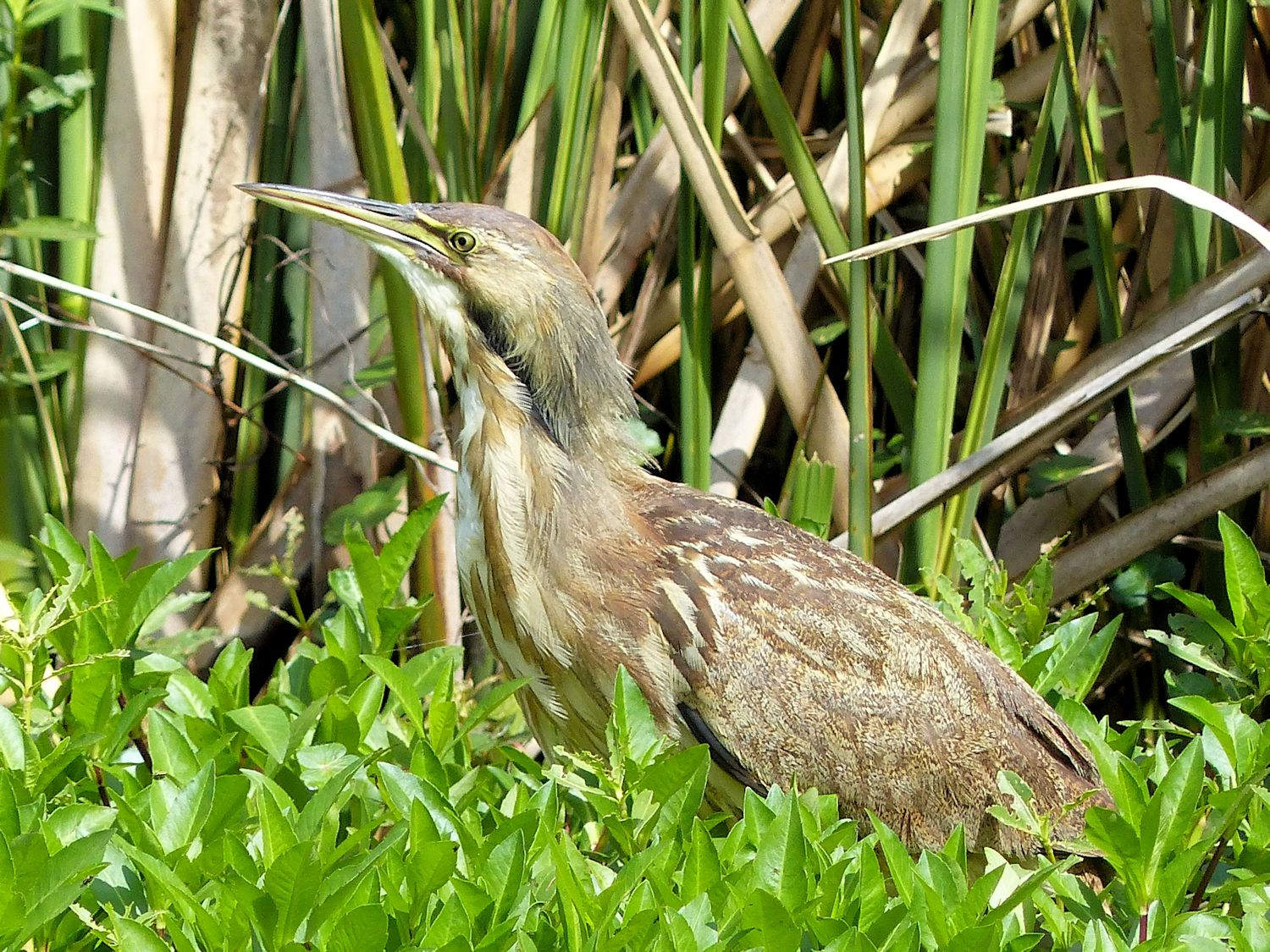 American Bittern thinking he is all camouflaged