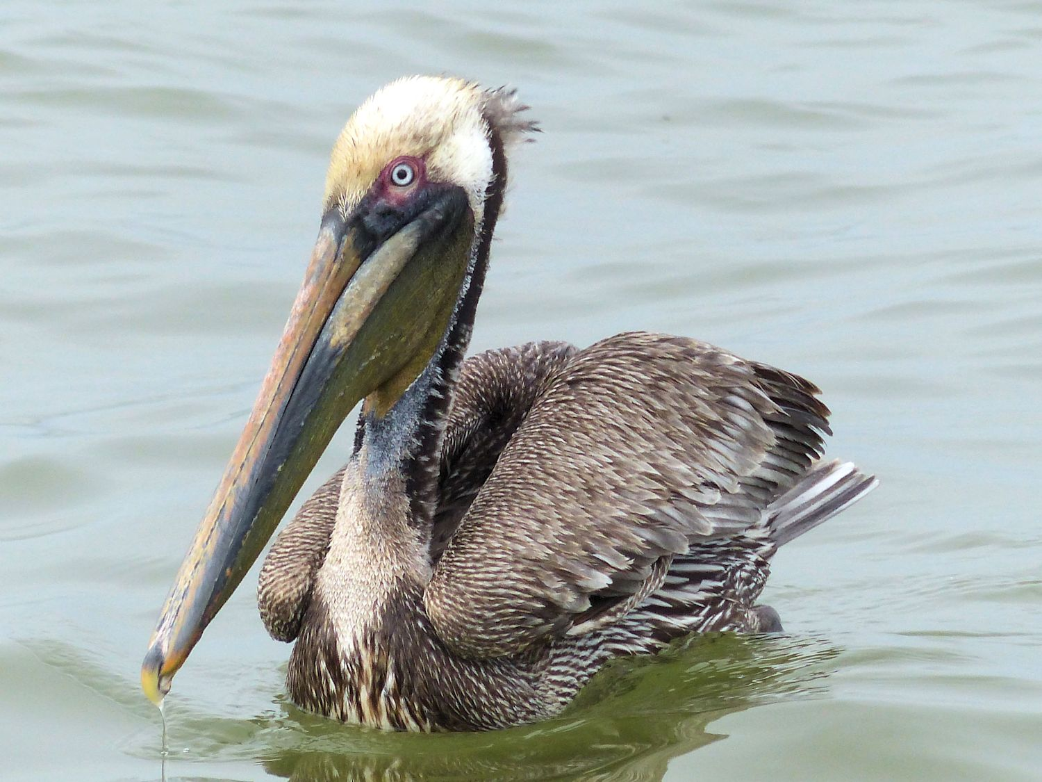 Brown Pelican floats high in the water