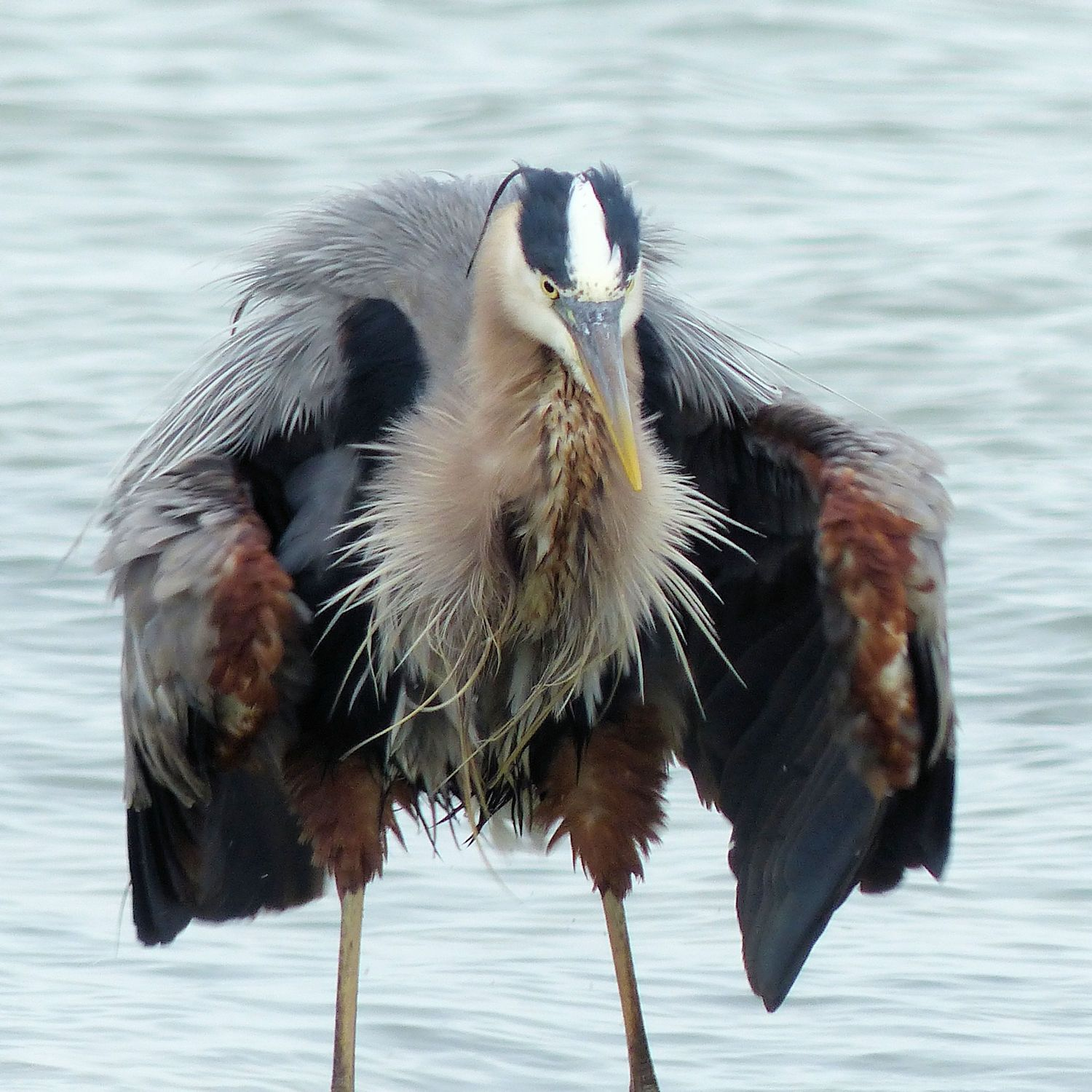 Great Blue Heron ... flasher! (He is really just shaking off the water)