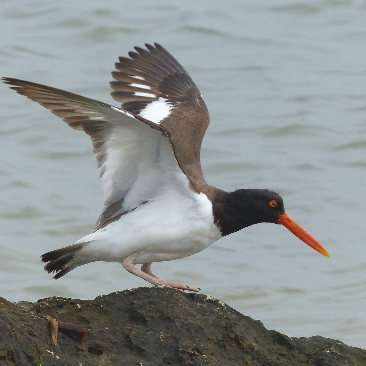 Oystercatcher taking off to find more oysters