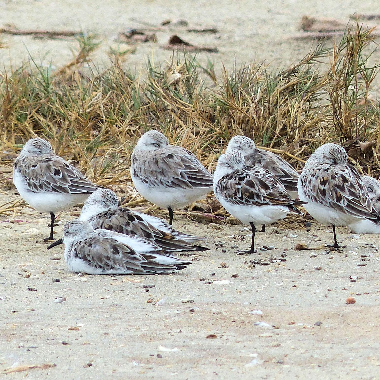 Huddle of Sanderlings developing breeding plumage