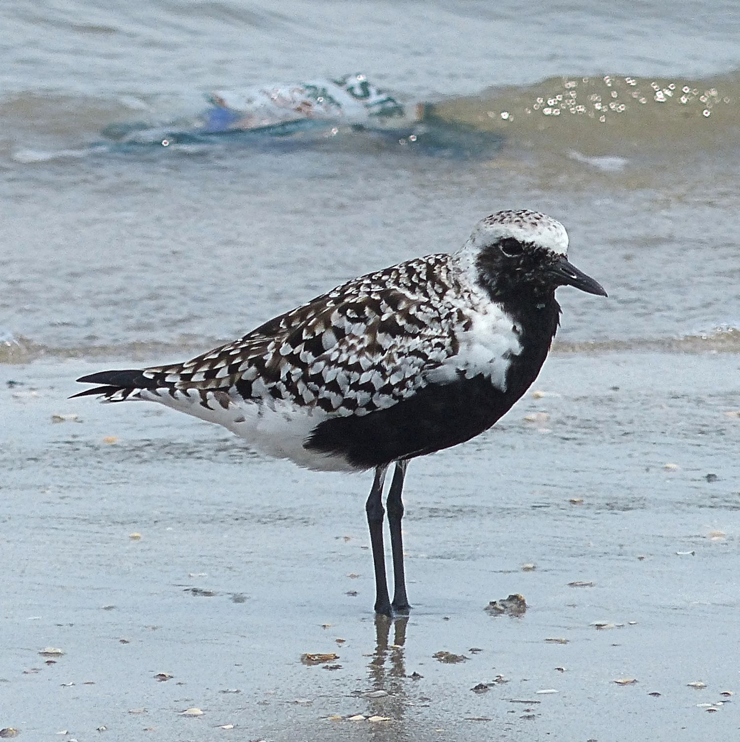 Black-bellied Plover with breeding plumage waiting until it is time to go North