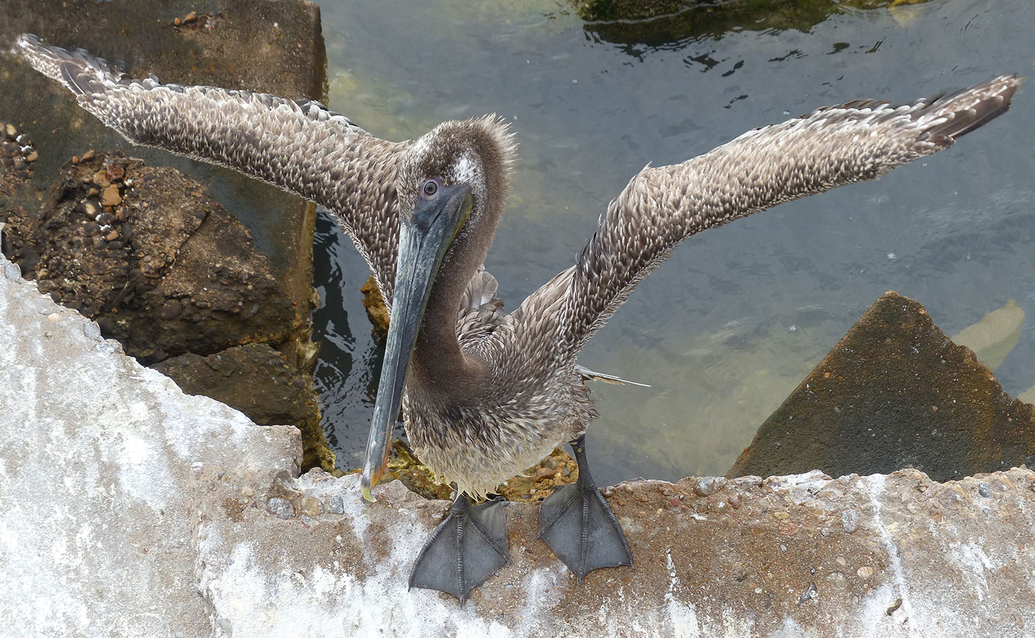 Brown Pelican showing off for you