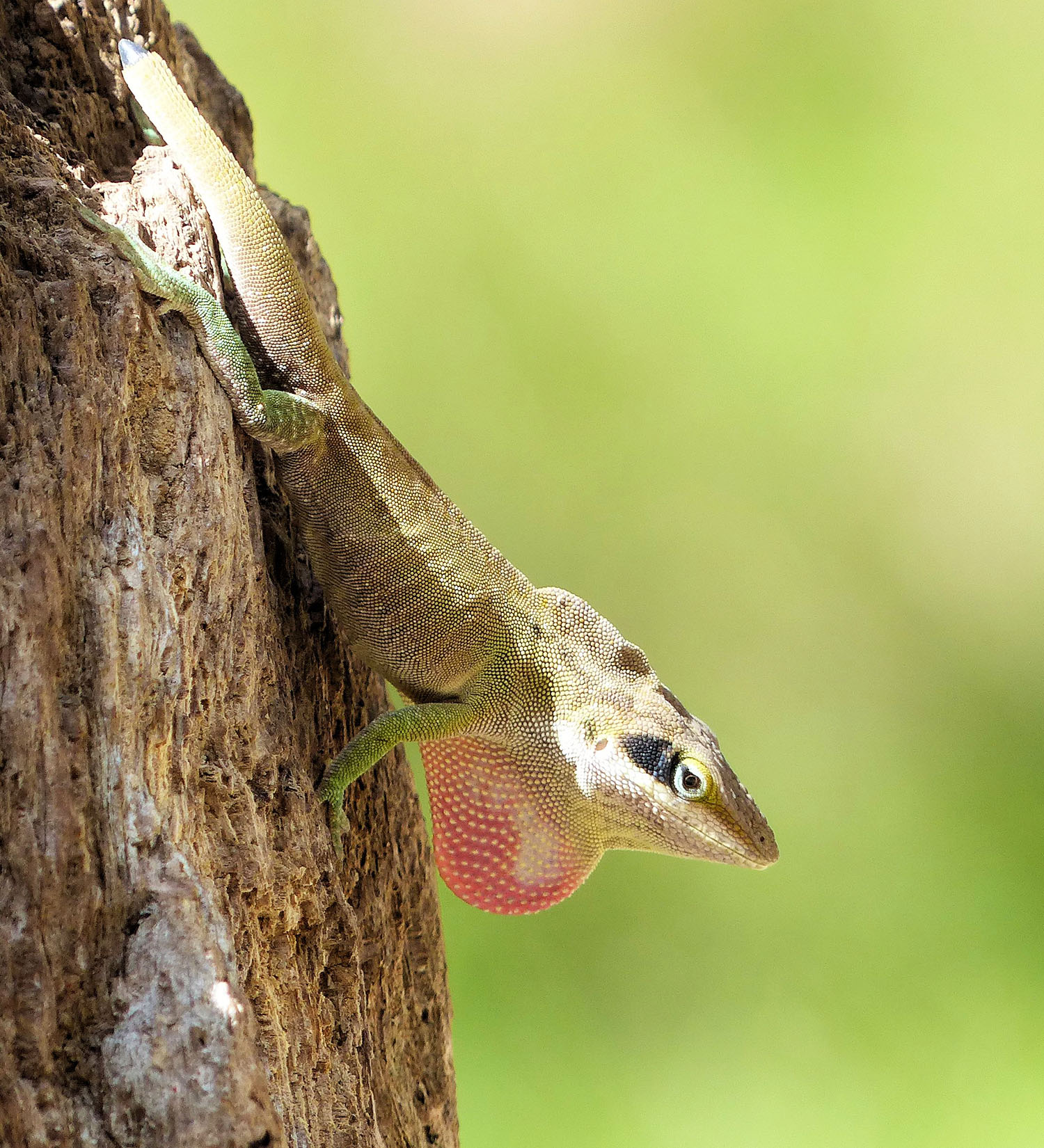 Anole in full threat display