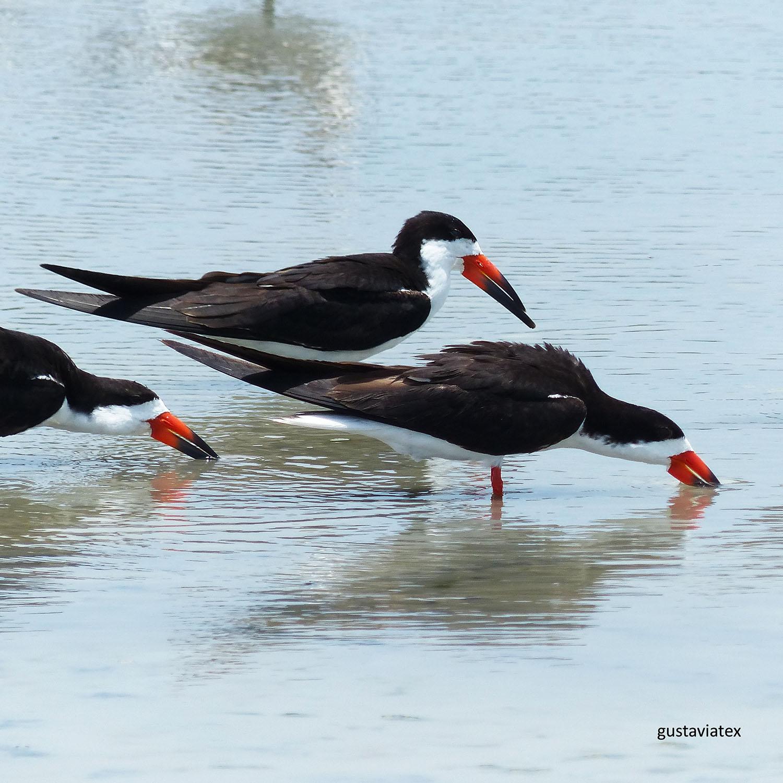 Black Skimmers near nesting area