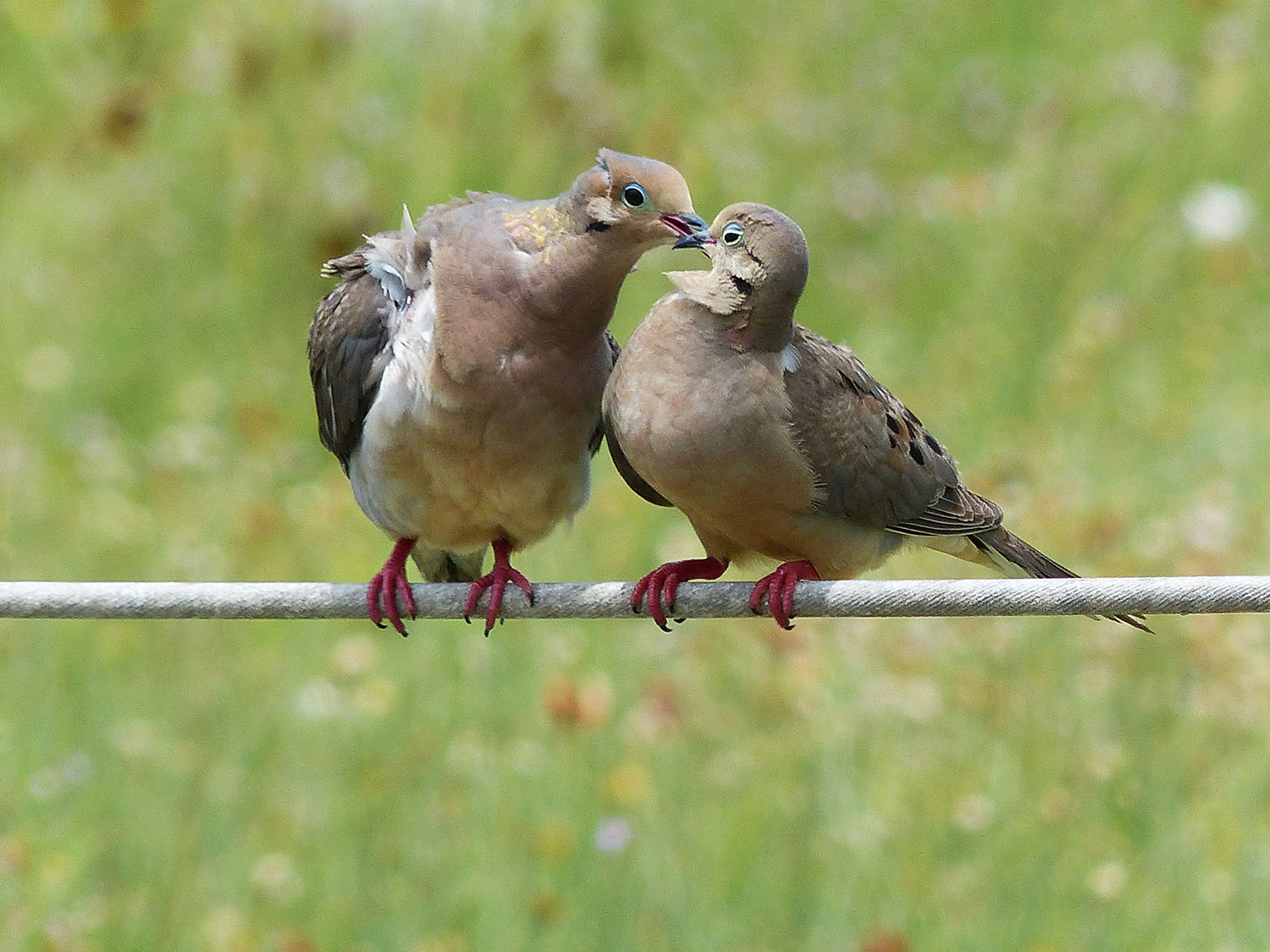 Cuddly Mourning Doves