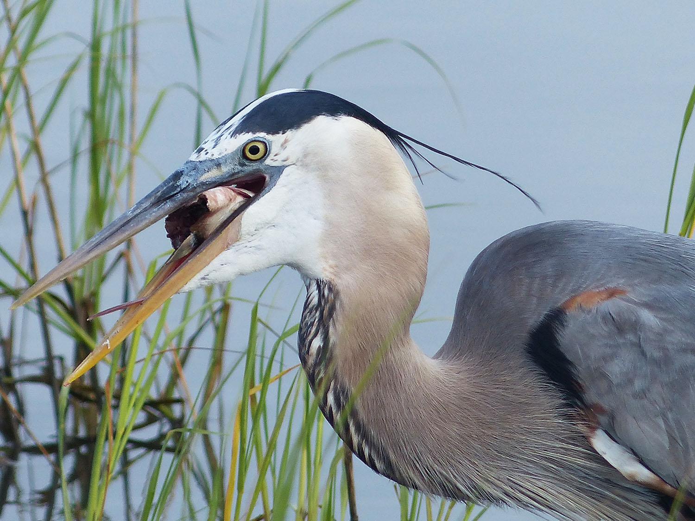 Great Blue Heron having his breakfast