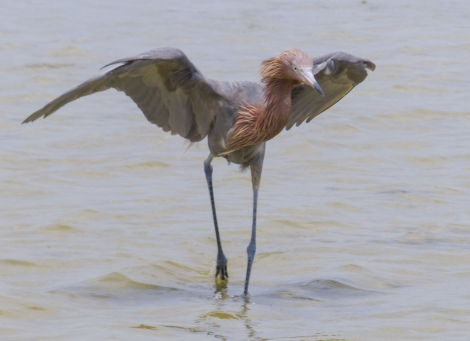 Reddish Egret 'shadowing' to reduce glare. Or just changing directions.