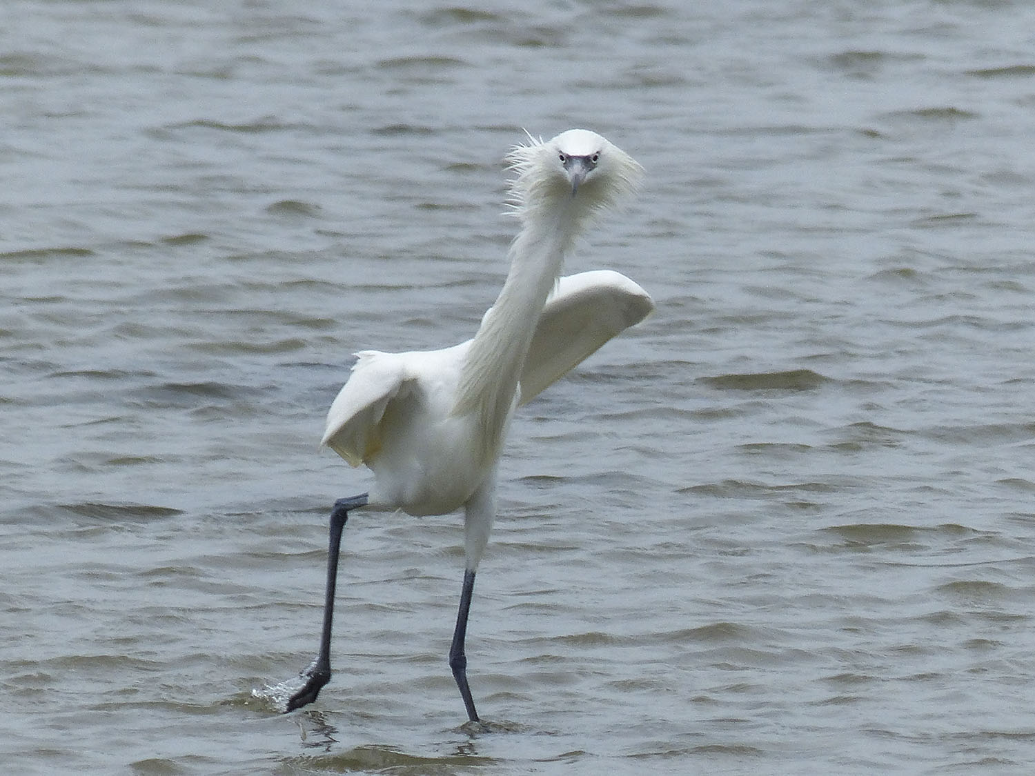 White morph Reddish Egret changing directions and giving me the evil eye