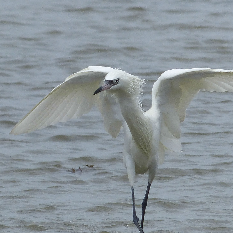 White morph Reddish Egret 'shadowing'