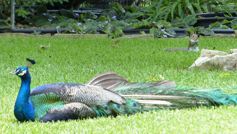 Suburban peacock with squirrel
