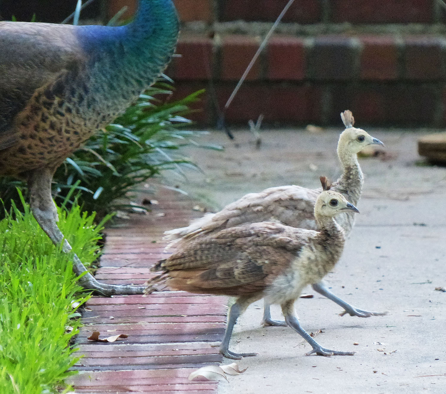 Two peachicks and a peahen