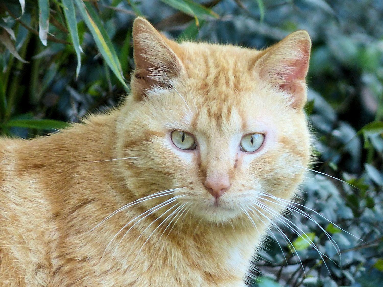 Orange semi-wild kitteh