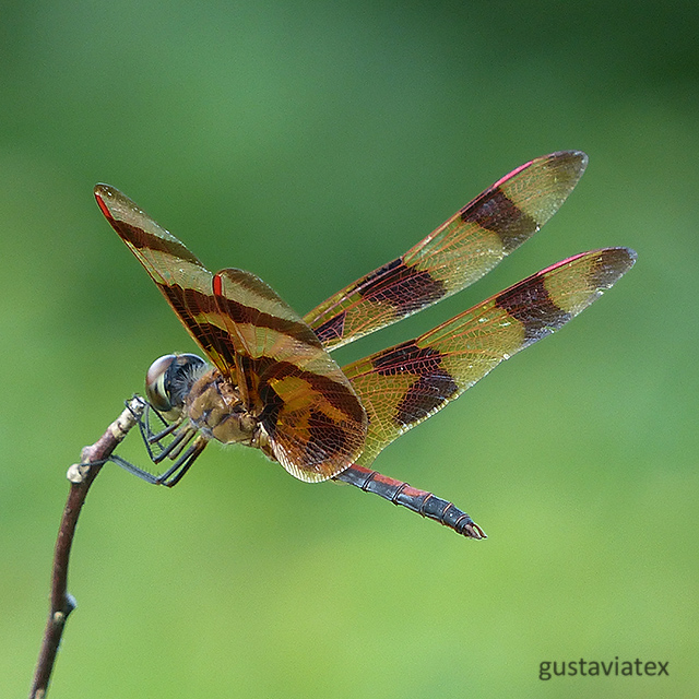 Halloween Pennant dragonfly at Brazos Bend