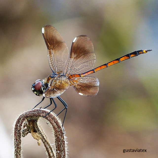 Four-spotted pennant, Brazos Bend