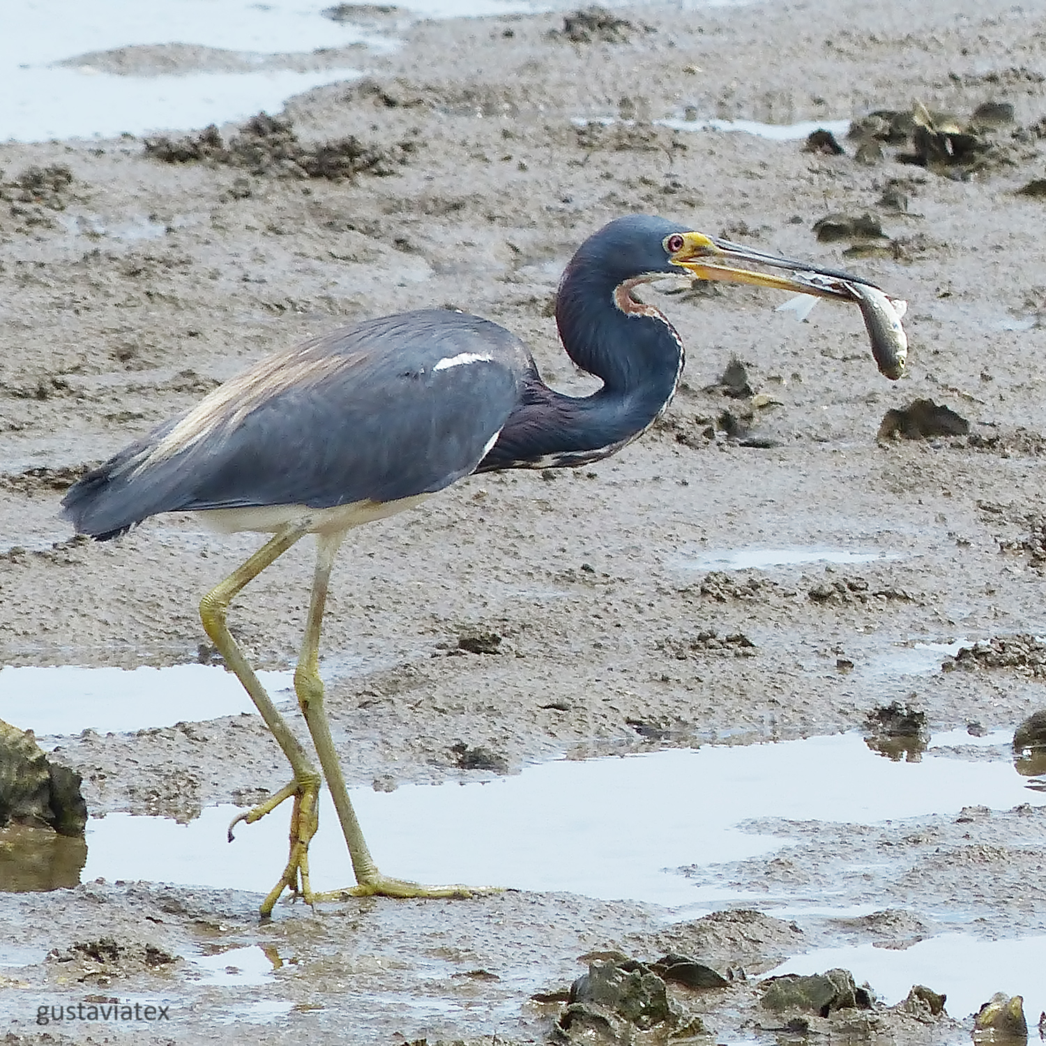 Tri-colored Heron with supper