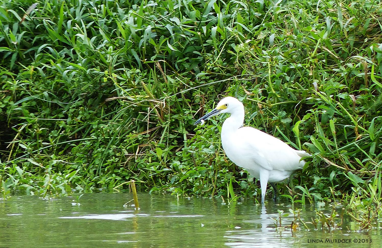 Snowy Egret on far side of bayou